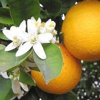 Clenbutrol Ingredient - Citrus Aurantium