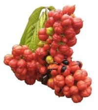 Clenbutrol Ingredient - Guarana Extract