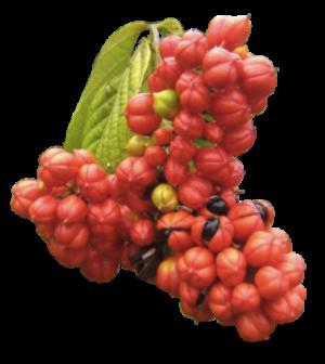 Clenbutrol Ingredient Guarana